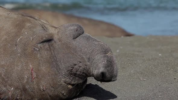 Thumbnail for Large Elephant Seal On South Georgia Island