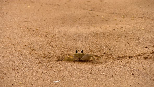 Thumbnail for Tropical Crab in its Natural Habitat on a Golden Beach in the Caribbean
