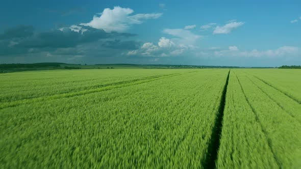Thumbnail for Flying Over a Green Wheat Field Clear Blue Sky