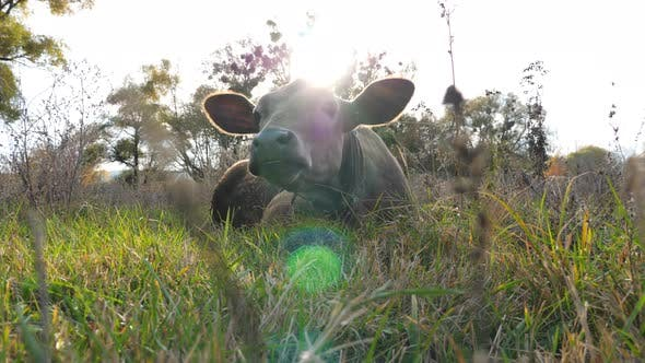 Thumbnail for Funny Curious Cow Lying at Lawn and Looking Into Camera Stirring Ears. Cute Friendly Animal Grazing