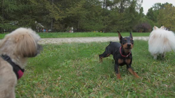 Doberman Puppy Jumps with Shih Tzu and Pomeranian Dogs