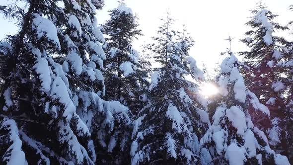Thumbnail for Snow Lies on the Coniferous Trees . Aerial View. Close Up