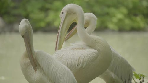 Pelican on the Lake. Close-up