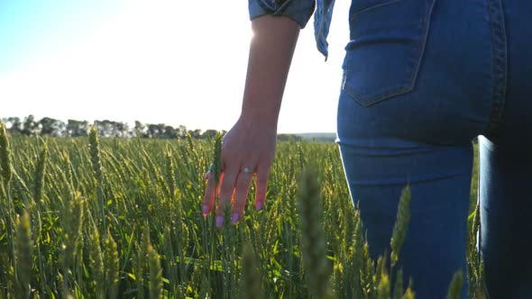 Thumbnail for Unrecognizable Woman Walking Through Wheat Field Holding Hand Over Spikelets. Girl Touching Green