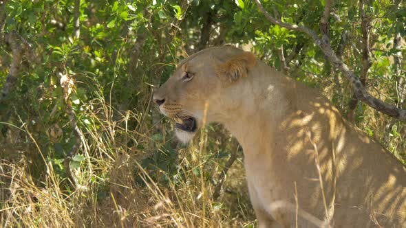 Side view of a lioness