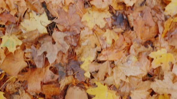 Cover Image for Top View of Female Legs in Boots Walk on Fallen Autumn Leaves