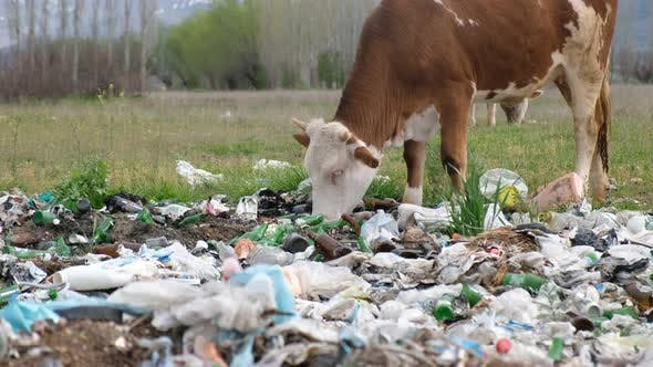 Cover Image for Cows Eating Garbage