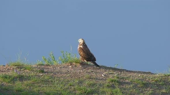 Thumbnail for Hunter Predator Hawk is Bird of Prey in Genus Buteo