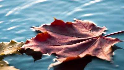 Maple Leaf Falls Into The Water