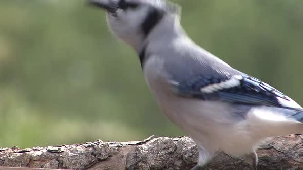 Thumbnail for Blue Jay Adult Lone Eating Feeding in Autumn in South Dakota