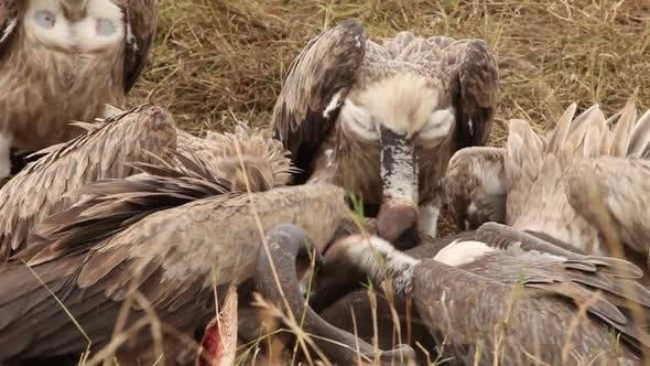 Frénésie d'alimentation des vautours