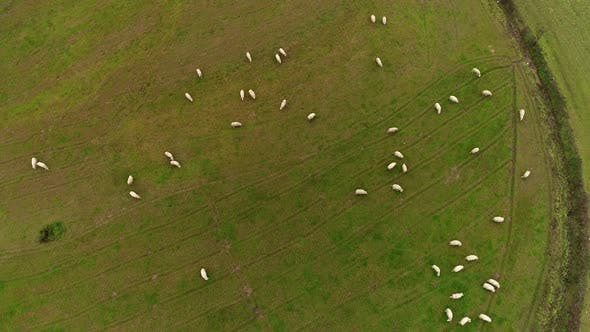 Thumbnail for Aerial view of Many Sheeps Grazing in the Green Field