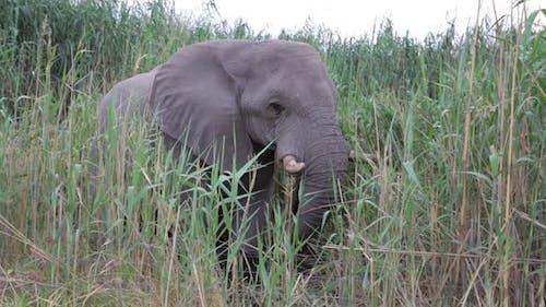 Portrait of grazing African Elephant in in Etosha
