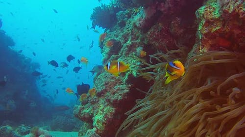 Clownfish and Colorful Fishes