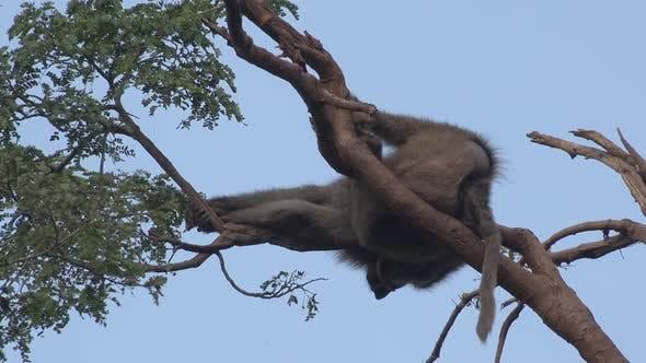 Lazy Baboon Monkey Sleeping in the Tree