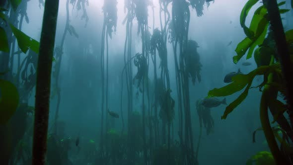 Thumbnail for Magnificent Drifting through a kelp forest near Cape Peninsula, South Africa