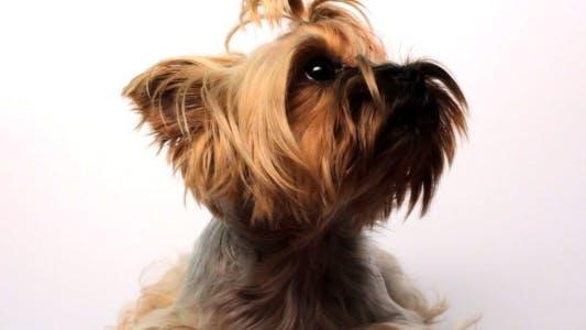 Thumbnail for Yorkshire Terrier On White