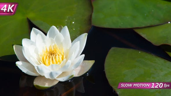 Thumbnail for Tender Waterlily In A Marshy Pond