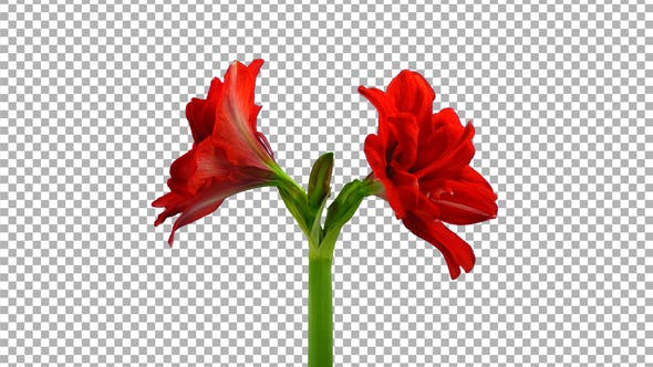 Thumbnail for Time lapse of opening red Hot Peacock amaryllis with ALPHA channel
