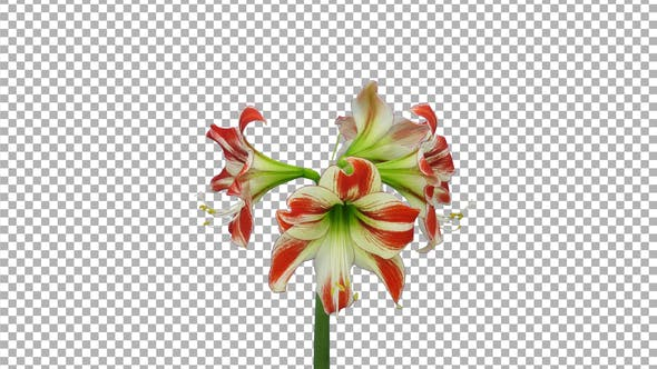 Thumbnail for Time lapse of opening red-white Ambiance amaryllis with ALPHA channel
