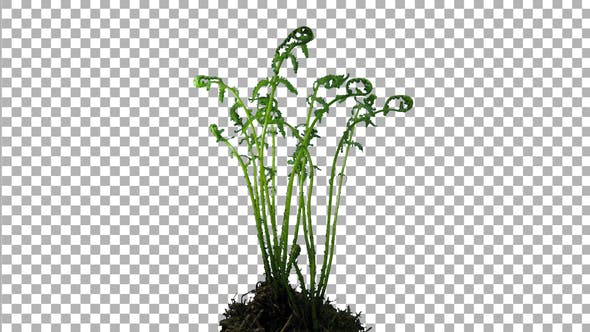 Phototropism effect in unrolling young fern fronds with ALPHA channel