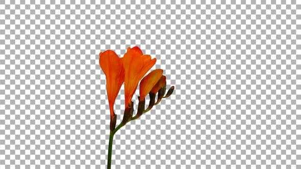 Thumbnail for Time-lapse opening orange freesia flower buds with ALPHA channel