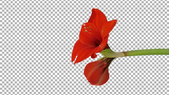 Time-lapse of opening Red amaryllis flower with ALPHA channel, vertical orientation