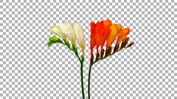 Thumbnail for Time-lapse of opening orange and white freesia flowers buds with ALPHA channel