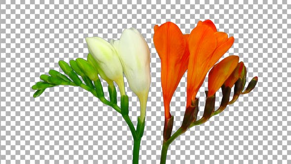 Thumbnail for Time-lapse opening white orange freesia flower buds with ALPHA channel