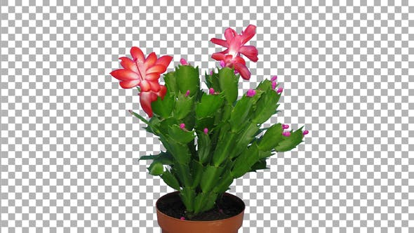 Thumbnail for Time-lapse of growing and blooming pink Christmas cactus with ALPHA channel