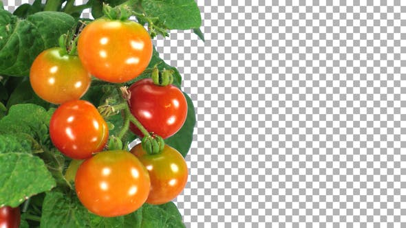 Thumbnail for Time-lapse of growing and ripening tomato vegetable with ALPHA channel