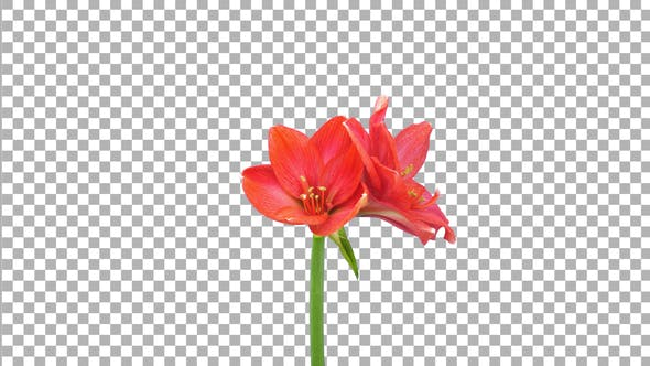 Thumbnail for Time lapse of opening Red Rival amaryllis flower with ALPHA channel