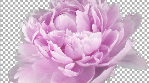 Time lapse of opening and rotating pink Peony flower with ALPHA channel