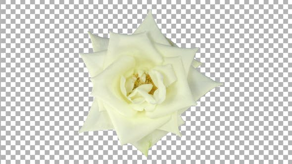 Thumbnail for Time-lapse of opening white Bianca rose with ALPHA channel