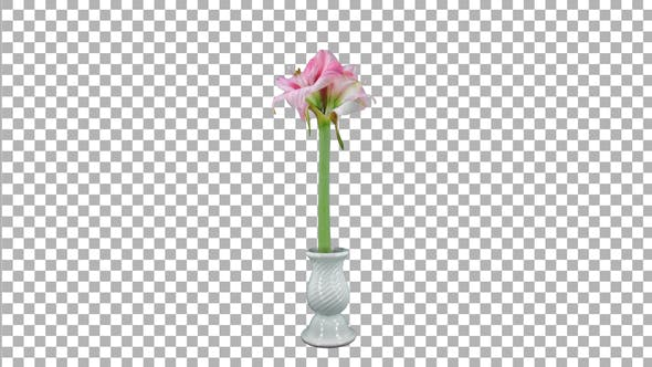 Thumbnail for Time lapse of opening pink-white Blushing Bride amaryllis with ALPHA channel