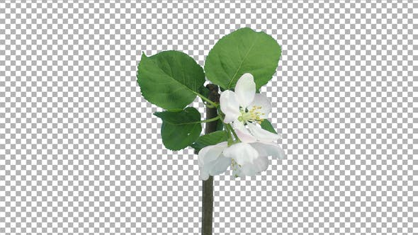 Time lapse of blooming apple branch with ALPHA channel