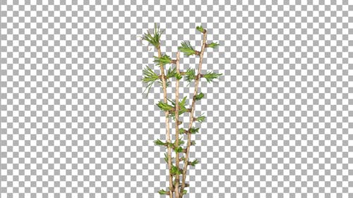 Time lapse of growing larch tree branch with ALPHA channel