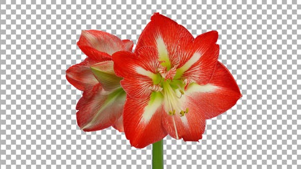 Time lapse opening Minerva amaryllis flower with ALPHA channel
