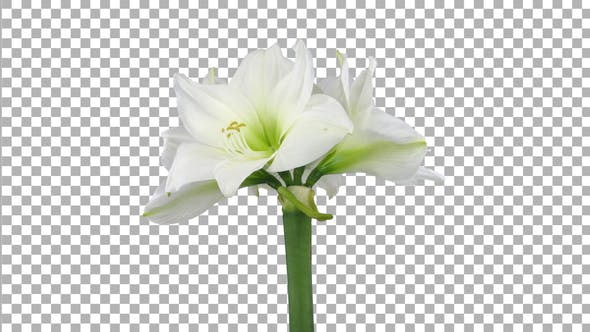 Thumbnail for Time lapse of opening White amaryllis Christmas flower with ALPHA channel
