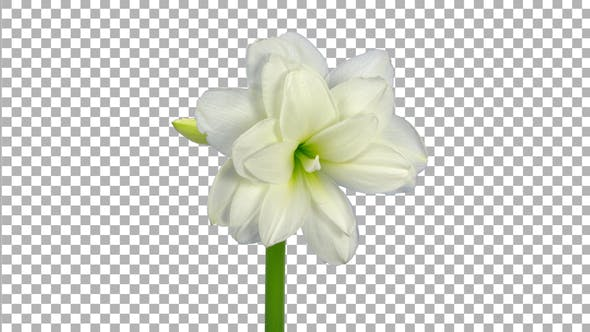 Thumbnail for Time lapse of opening White amaryllis flower with ALPHA channel