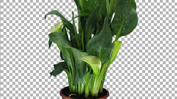 Time-lapse of growing calla plant with ALPHA channel