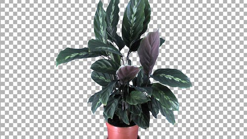 Time-lapse of growing calathea plant with ALPHA channel