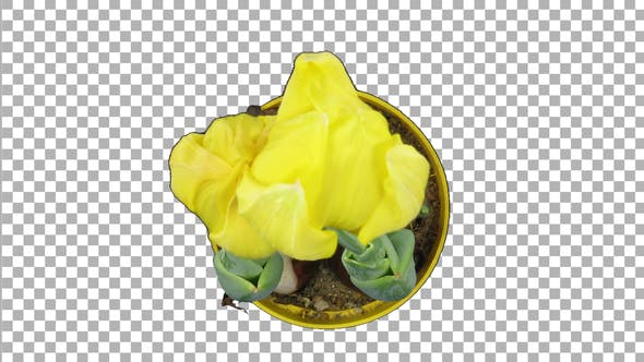 Thumbnail for Time-lapse of growing yellow tulip in a pot with ALPHA channel