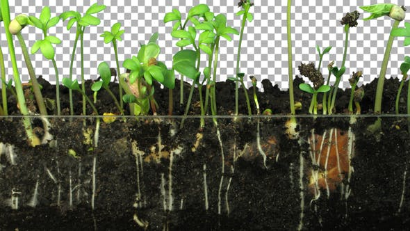 Thumbnail for Time-lapse of germinating mixed vegetables with ALPHA channel