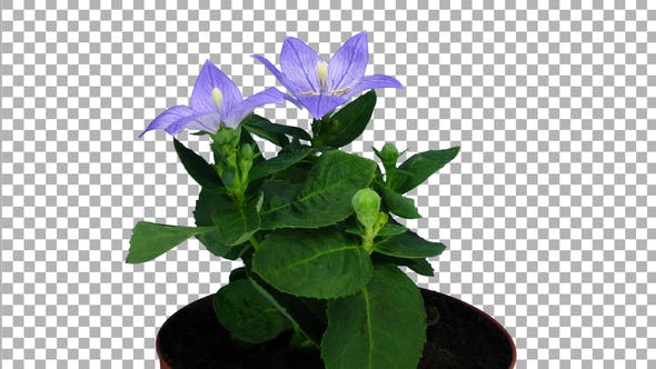 Time-lapse of opening blue Campanula flower with ALPHA channel