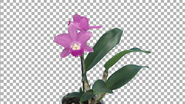 Thumbnail for Time-lapse of opening pink Cattleya orchid with ALPHA channel