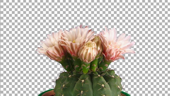 Thumbnail for Time-lapse of blooming red cactus buds with ALPHA channel