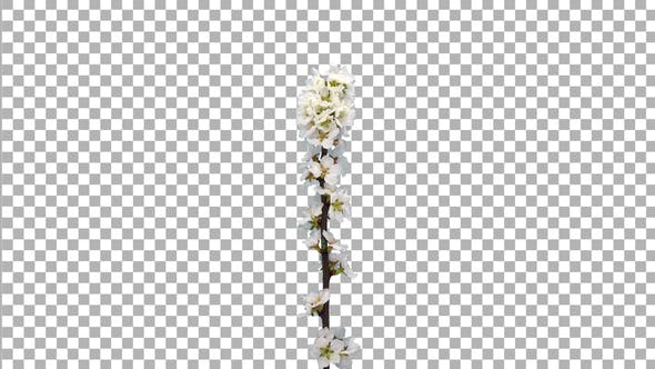 Thumbnail for Time-lapse of blooming Nanking cherry tree branch with ALPHA channel