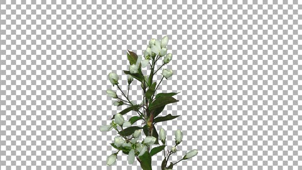 Thumbnail for Time-lapse of blooming cherry branch with ALPHA channel