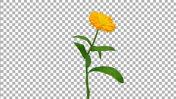 Time-lapse of opening calendula flower with ALPHA matte